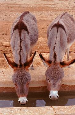 Domestic donkeys drinking and showing dorsal cross SE Morocco  -  Graham Hatherley/ npl