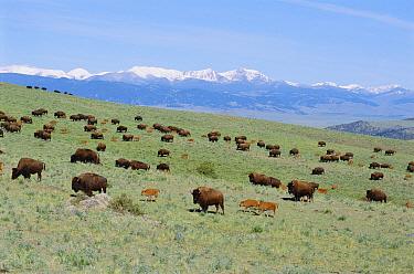 Bison (Bison bison) herd with calves in Rockies Montana, USA  -  Barrie Britton/ npl