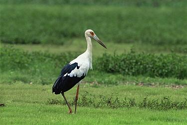Magueri stork (Ciconia magueri) Llanos, Venezuela  -  Luiz Claudio Marigo/ npl