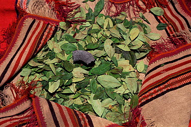 Coca leaves (Erythroxylum coca) used to make cocaine, Bolivia  -  Luiz Claudio Marigo/ npl