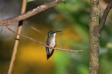 White crested emerald hummingbird (Amazilia chionopectus) Trinidad  -  Luiz Claudio Marigo/ npl