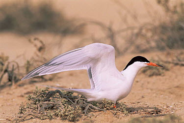 Roseate tern (Sterna dougallii) on nest, Masirah, Oman  -  Hanne & Jens Eriksen/ npl