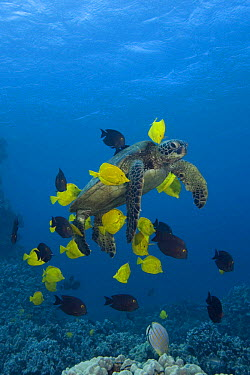 Green sea turtle (Chelonia mydas ) being cleaned by herbivorous cleaner fish species Yellow tangs (Zebrasoma flavescens) and Gold-ring surgeonfish (Ctenochaetus strigosus) that graze algae off of turt...  -  Doug Perrine/ npl
