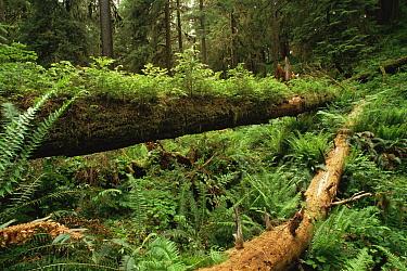Fallen nurse log with ferns, Olympic NP, Washington State, USA  -  Neil Lucas/ npl