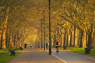 Joggers and cyclists in Hyde Park, early morning, London, England, UK  -  David Noton/ npl