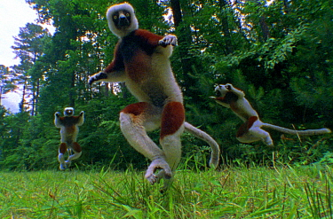 Coquerel's sifaka lemurs pogo across the for (Resolution restriction, image digitised from film, 'Weird Nature' tv series)  -  JDP/ npl