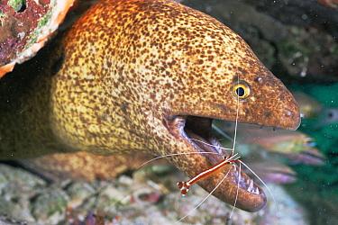 Yellow edged moray eel (Gymnothorax flavimarginatus) being cleaned by Humpback cleaner shrimp (Lysmata amboinensis) Mabul, Borneo, Malaysia  -  Doug Perrine/ npl
