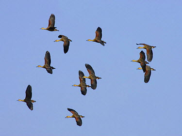 Flock of Lesser, Indian whistling ducks (Dendrocygna javanica) in flight, Bandhavgarh National Park, India  -  Sharon Heald/ npl