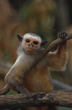 Satare maues marmoset (Callithrix mauesi satare) Amazonia, Brazil  -  Nick Gordon/ npl