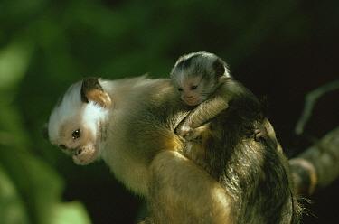 Satare maues marmoset carrying baby on back(Callithrix mauesi satare) Amazonia, Brazil  -  Nick Gordon/ npl