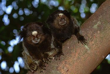 Black tufted-ear, pencilled marmosets, Minas Cerais, Brazil (Callithrix pencillata)  -  Luiz Claudio Marigo/ npl
