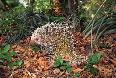 Prehensile tailed porcupine, Coendu (Coendou prehensilis) Gran Chaco NP, Bolivia  -  Luiz Claudio Marigo/ npl