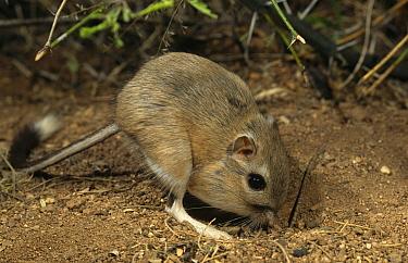 Bannertail kangaroo rat (Dipodomys spectabilis)foraging with full cheek pouches, captive, Arizona, USA  -  Mary Mcdonald/ npl