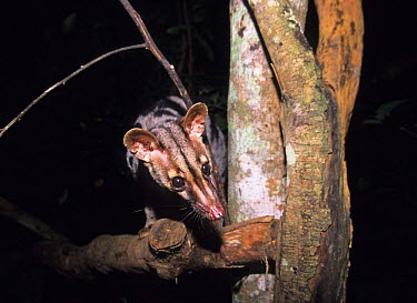 Owston's Palm Civet (Chrotogale owstoni) Captive, Cuc Phuong National Park, Vietnam  -  Matthew Maran/ npl