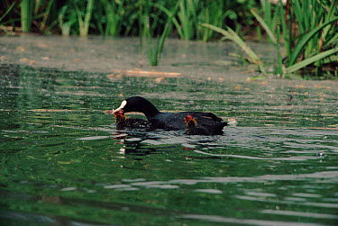 Coot parent killing its chick, infanticide to reduce clutch size  -  Barrie Britton/ npl