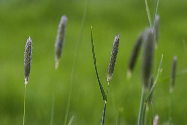 Timothy Grass (Phleum pratense) Kent, UK  -  Simon Colmer/ npl