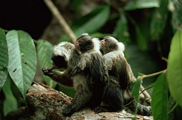 Maues marmoset (Mico, Callithrix pygmaea) group foraging in rainforest, Amazonia, Brazil  -  Nick Gordon/ npl