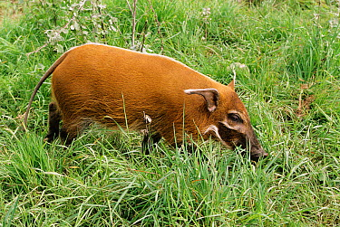 Red river hog (Potamochoerus porcus) juvenile female, captive from West and Central Africa  -  Rod Williams/ npl