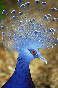 Victoria crowned pigeon (Goura victoria) captive, from Indonesia and PNG  -  Rod Williams/ npl
