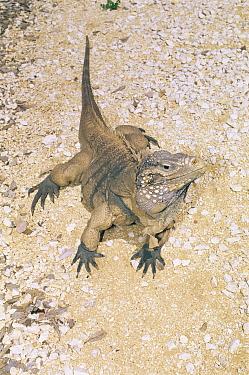 Little cayman gray rock iguana (Cyclura nubila caymanensis) critically endangered, captive, Grand Cayman Is, Caribbean  -  Doug Perrine/ npl