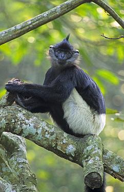 Delacour's langur (Trachypithecus delacouri) captive, Endangered Primate Rescue Center, Cuc Phuong National Park, Vietnam  -  Matthew Maran/ npl