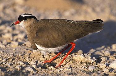 Crowned plover standing over nest with egg (Vanellus coronatus) Estosha NP, Namibia  -  Tony Heald/ npl