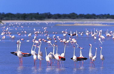 Flock of Greater flamingo (Phoenicopterus ruber) Estosha NP, Namibia  -  Sharon Heald/ npl