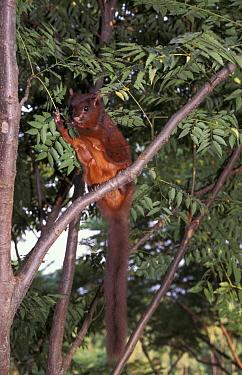 Red giant flying squirrel feeding on leaves (Petaurista petaurista) Taiwan  -  Nick Upton/ npl