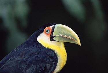Red breasted toucan portrait (Ramphastos dicolorus) Iguazu NP, Argentina  -  Gabriel Rojo/ npl