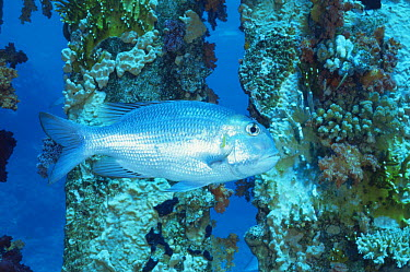Bigeye emperor fish (Monotaxis grandoculis) on Ras Mohammed coral reef, Red Sea, Egypt  -  Constantinos Petrinos/ npl