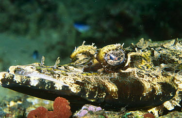 Crocodile fish (Cociella crocodila) Solomon Island, Pacific  -  Brent Hedges/ npl