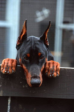 Doberman dog peering over kennel fence (Canis familiaris) Scotland, UK  -  Colin Seddon/ npl