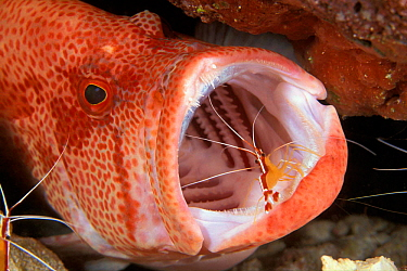 Scarlet cleaner shrimp (Lysmata amboinensis) in mouth of Tomato grouper (Cephalopholis sonnerati) Sabah Borneo  -  Doug Perrine/ npl