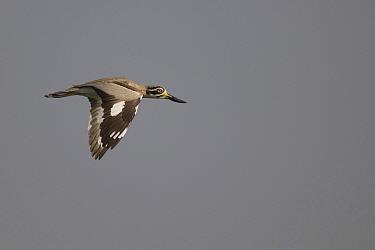 Great thick knee, stone plover (Esacus recurvirostris) in flight, Bund Baretha, Rajasthan, India  -  Bernard Castelein/ npl