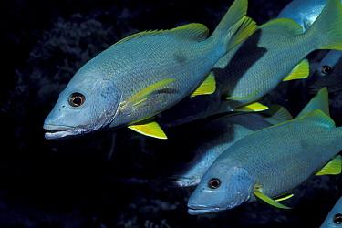 Shoal of One spot snapperfish (Lutjanus lutjanus) Egypt, Red Sea  -  Georgette Douwma/ npl