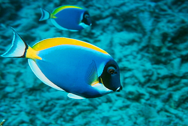 Powder blue surgeonfish (Acanthurus leucosternon) Andaman sea, Indian Ocean  -  Georgette Douwma/ npl