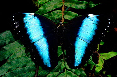 Morpho butterfly (Morpho achilles) showing upperside of wings Amazonian rainforest, Ecuador, South America  -  Pete Oxford/ npl
