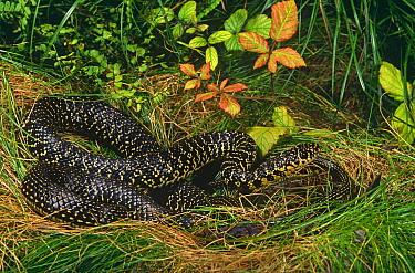 Western whipsnake (Coluber viridiflavus) Spain  -  Jose Luis Gomez De Francisco/ np