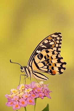 Lemon, Common lime swallwotail butterfly (Papilio demoleus) on flower head, Asia, Captive  -  Ingo Arndt/ npl