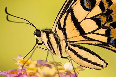 Lemon, Common lime swallowtail butterfly (Papilio demoleus) on flower head, Asia, Captive  -  Ingo Arndt/ npl