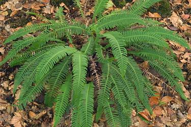 Deer, hard fern (Blechnum spicant) Belgium  -  Philippe Clement/ npl
