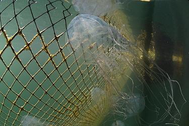 Box jellyfish (Chironex sp) in fishing net, Australia  -  Jurgen Freund/ npl