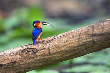 Madagascar kingfisher with prey (Alcedo vintsioides) Western Dry Forest, Madagascar  -  Pete Oxford/ npl