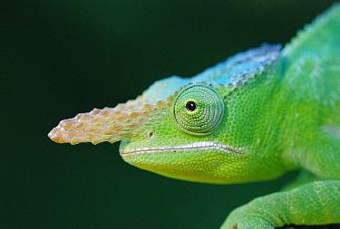 Chameleon head profile portrait (Brakypodion fischeri) East Africa  -  Ingo Arndt/ npl