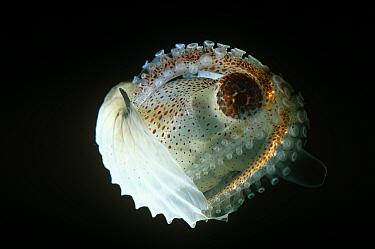 Paper argonaut (Argonauta sp) Gulf of Mexico, deep sea species  -  David Shale/ npl