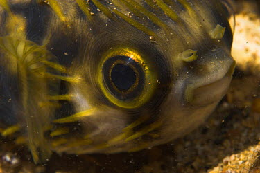 Globefish (Diodon nicthemerus) South Australia, Australia  -  Brent Hedges/ npl