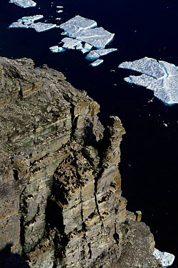 Bird cliffs with nesting Kittiwakes and Guillemots Leopold Is, Canadian arctic  -  Doug Allan/ npl