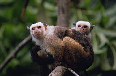Satare maues marmoset carrying baby on back(Callithrix mauesi satare) Amazonia, Brazil  -  Nick Gordon/ npl