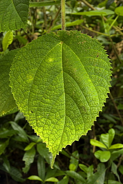 Stinging Tree leaf (Laportea gigas or Dendrocnide excelsa) Contact with the leaves or twigs causes the hollow silica-tipped hairs to penetrate the skin Australia  -  Jurgen Freund/ npl