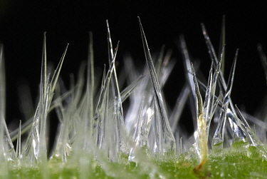 Close up of Stinging Tree hairs on the leaves (Laportea gigas or Dendrocnide excelsa) Contact with the leaves or twigs causes the hollow silica-tipped hairs to penetrate the skin Australia  -  Jurgen Freund/ npl